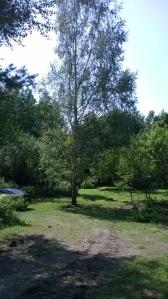 1 live birch tree