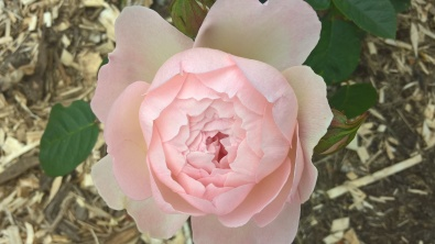 Gentle Hermoine David Austin Rose