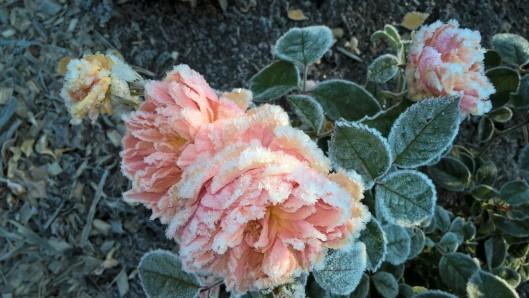 garden-roses_30428775916_o