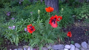 Papver Poppy