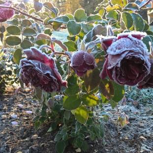garden-roses_30428775726_o