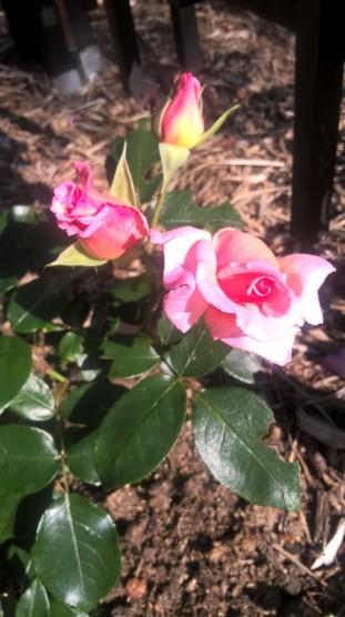 Compassion DA climbing rose