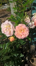 Ghislaine de Felisgonde DA climbing rose