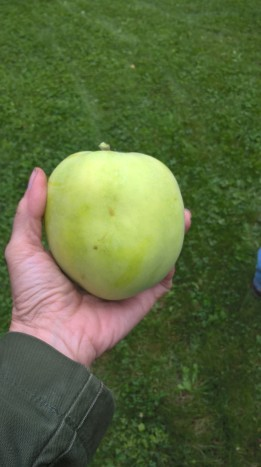 huge-apple--august-2017_36705192671_o