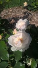 Jacqueline Dupre DA rose
