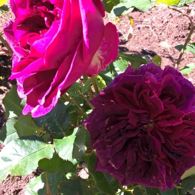 Munstead Wood DA rose