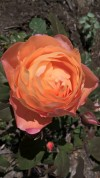 The Lady of Shallot DA rose