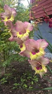 special-gladiola-variety_36708660615_o