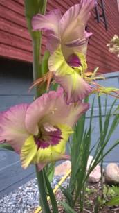 special-gladiola-variety_36708661765_o