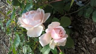 Wild Eve DA rose