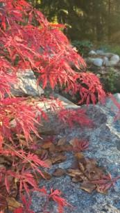 Acer 'Garnet' Japanese Maple