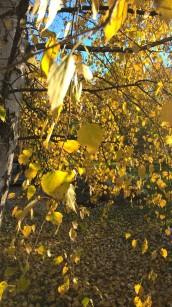 Birch /Betula