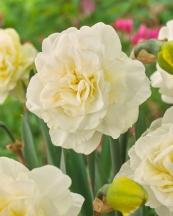 Narcissus 'Obdam'