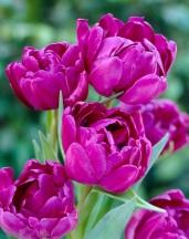'Blue Diamond' Tulip
