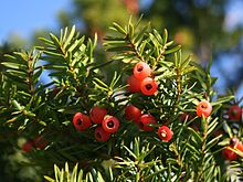Taxus_cuspidata_fruits