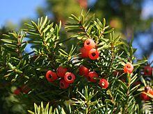 Taxus_cuspidata_fruits