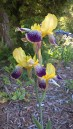 'Nibelungen', Tall Bearded Iris (Iris germanica 'Nibelungen')