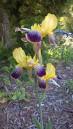 'Nibelungen', Tall Bearded Iris (Iris germanica 'Nibelungen')